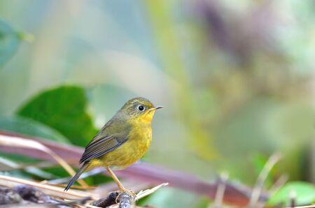 robin bird: Bird Golden Bush Robin . Bird on the beautiful perch Stock Photo