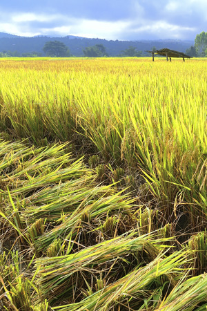 reaping: Cutting rice in field Reaping is the cutting of grain for harvest, typically using a scythe,sickle,or reaper Stock Photo