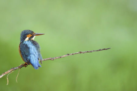 waiting glance: Bird Common Kingfisher perching on beautiful branch and green background