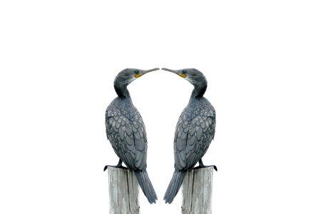 fineart: Fineart photography Double Bird Little Cormorant perching on the pole