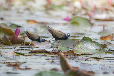 jacana: Bird Bronzewinged Jacana walking on the pond Stock Photo