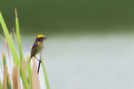 streaked: Beautiful bird streaked weaver perching on grass