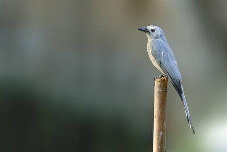 ashy: Beautiful bird Ashy Drongo perching on timber