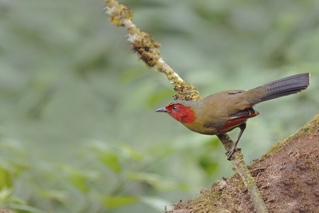 laughingthrush: Beautiful bird Scarletfaced Liocichla or Redfaced Liocichla perching on branch Stock Photo