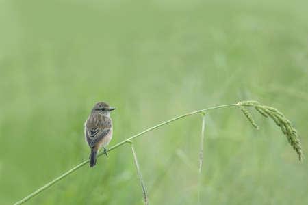 pied: Bird Pied bushchat perching on beautiful grass. Stock Photo