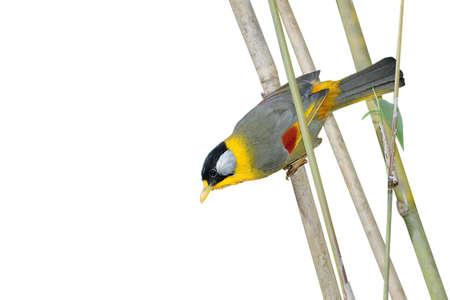 mesia: Beautiful bird perching on bamboo branch. silvereared mesia Stock Photo