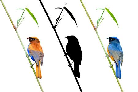 fineart: Fineart bird photography Rufousbellied Niltava perching on bamboo leaves Stock Photo