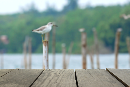 beautiful rare: Defocused and blur image of terrace wood and beautiful rare bird Nordmanns Greenshank perching on pole for background usage Stock Photo