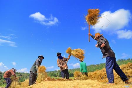 11 月 17 日チェンマイ タイ農民無防備と Maechaem チェンマイ タイで 2014 年 11 月 17 日に田んぼに穀物の脱穀の伝統的な方法