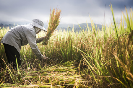 farmers harvesting rice in rice field in Thailand Stock Photo
