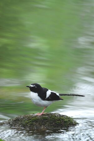 Bird and river blackbacked Forktail perching on stone for background and collection photo