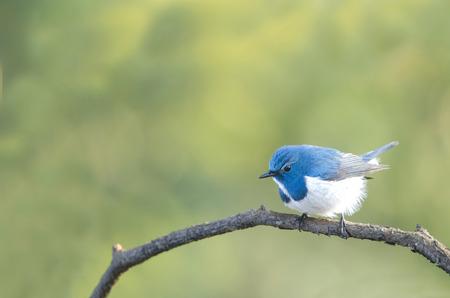 ultramarine blue: Ultramarine flycatcher beautiful blue bird perching on branch