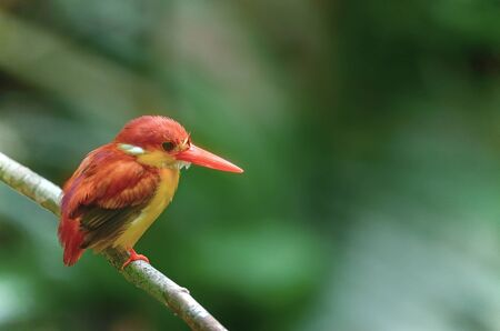 alcedinidae: Beautiful bird Rufousbacked Kingfisher perching on branch