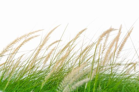 windy: Fresh green grass in beautiful meadow when windy attack Stock Photo