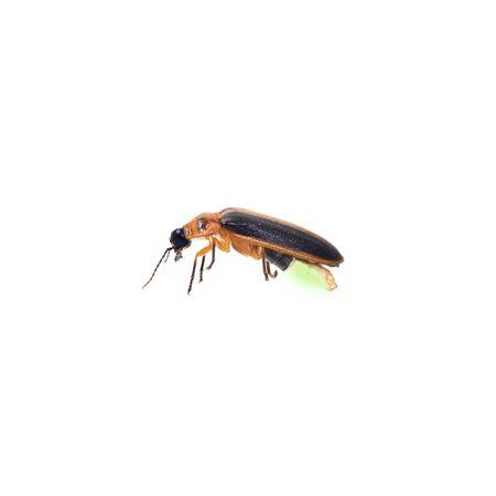 firefly: Firefly isolate on white background BUG Stock Photo