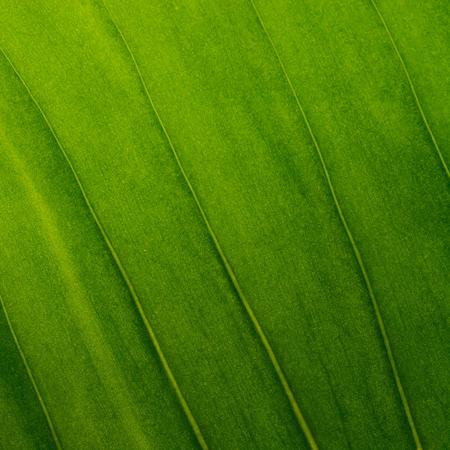 textura: Las hojas verdes como la textura de fondo