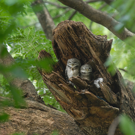 owlet: Beautiful Spotted Owlet family bird perching in nest
