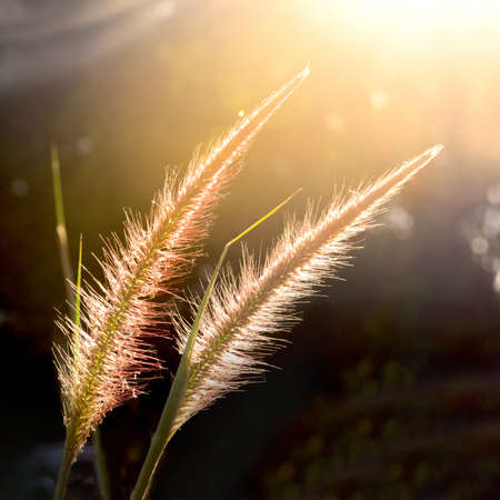 Grass flower with sunlight for background square frame ratio