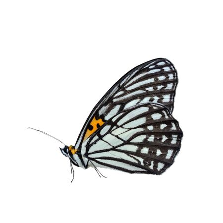 insecta: Butterfly isolate on white background