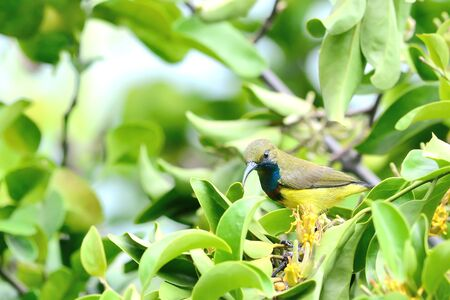 perching: Olive-backed Sunbird perching on branch and flower Stock Photo