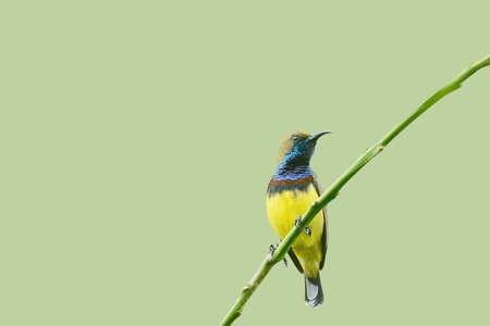 sunbird: Bird Olive-backed Sunbird perching on branch Stock Photo