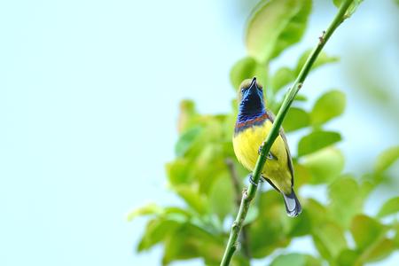 perching: Bird Olive-backed Sunbird perching on branch Stock Photo