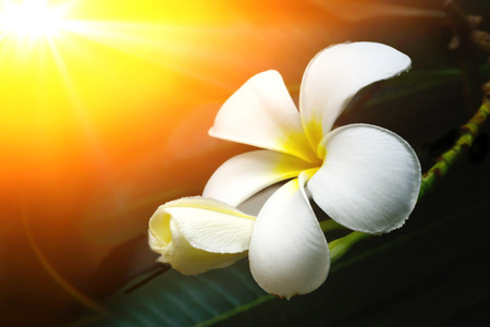 warm colors: plumeria frangipani y dulces flores en colores cálidos desdibujan estilo para el fondo Foto de archivo