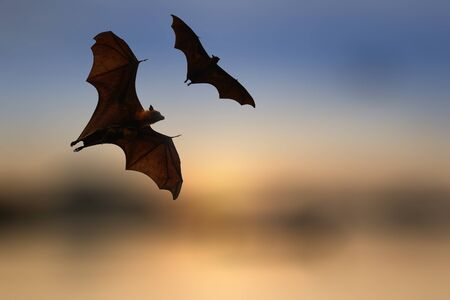 bat animal: Bat silhouettes with colorful lighting - Halloween festival Stock Photo