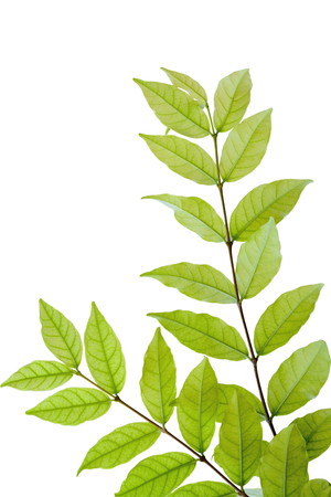 religiosa: Tropical fragrant leaves Wrightia religiosa Benth isolate on white background Stock Photo
