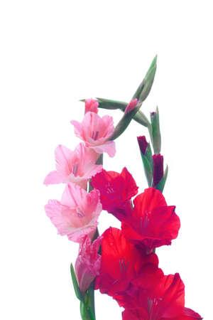 gladiolus: Beautiful Gladiolus flower isolate on white background
