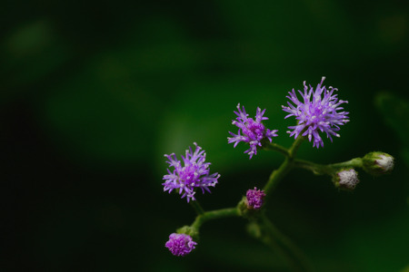 cinerea: Little ironweed, Vernonia cinerea  Herb Less purple flower Stock Photo