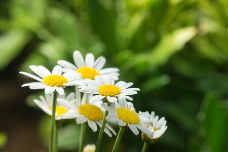 margarite: macro of beautiful white daisies flower in garden for texture background