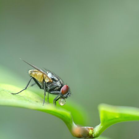malady: A macro shot of fly on green leaves . Live house fly .Insect close-up Stock Photo