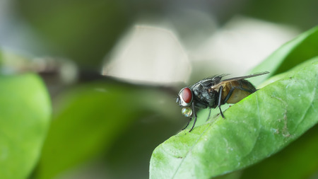 irritate: A macro shot of fly on green leaves . Live house fly .Insect close-up Stock Photo