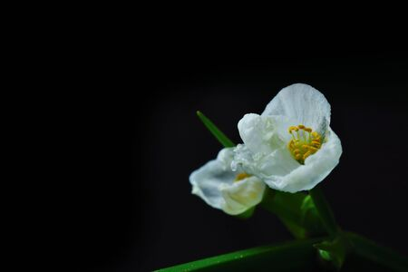 l natural: Sagittaria lancifolia L., Arrow Head Ame Son isolate on black background Flower
