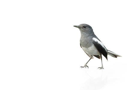 pica: Black and white bird, Magpie Robin isolated on white background. Stock Photo
