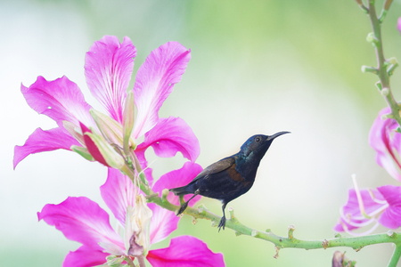 tinge: Purple Sunbird : Bird perching on flowers. Stock Photo