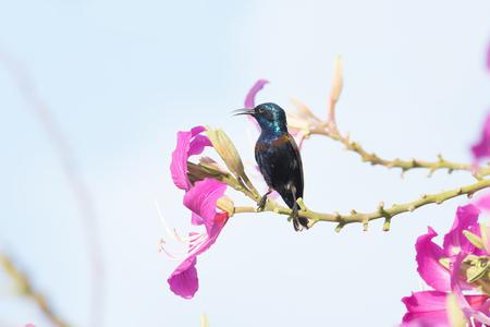 sunbird: Purple Sunbird : Bird perching on flower
