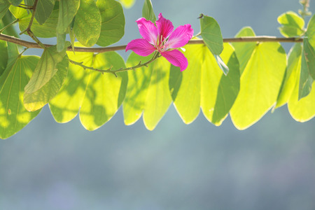orchid tree: Butterfly Tree, Orchid Tree, Purple Bauhinia Beautiful pink flower. Stock Photo