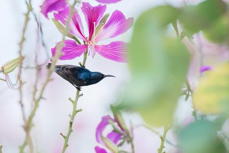 sunbird: Purple Sunbird : Bird perching on flowers. Stock Photo