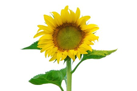 sunflowers: Sunflower isolated on white background