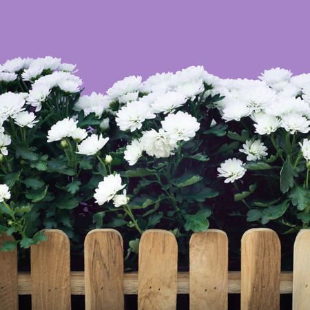 fench: Beautiful white flower farm background and fench Stock Photo
