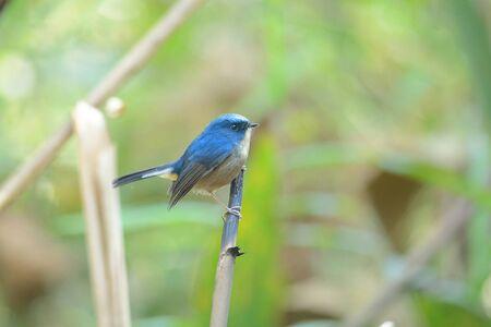 slaty: Slaty-blue Flycatcher Bird perching on branch Stock Photo