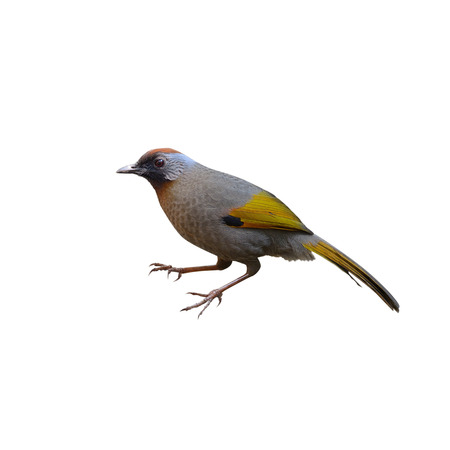 laughingthrush: Silver-eared Laughingthrush ,Bird and warm,feeding bird