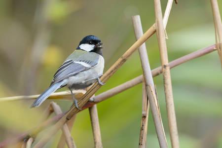 perching: Great Tit , Beautiful bird perching on branch Stock Photo