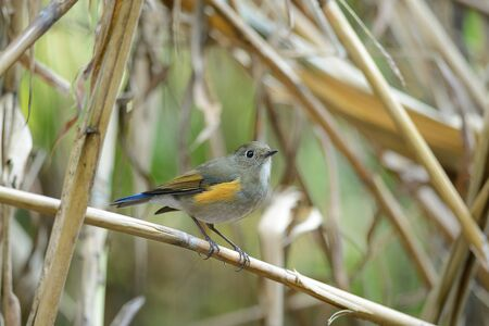 flanked: Red-flanked Bluetail ,bird perching on branch