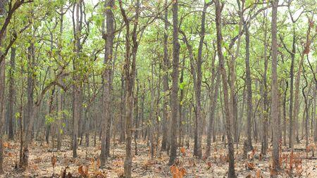 living organisms: Deciduous Dipterocarp Forest Stock Photo