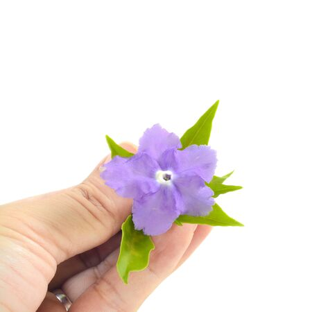 morning noon and night: vilolet flower and green leaves on hands isolate white as background