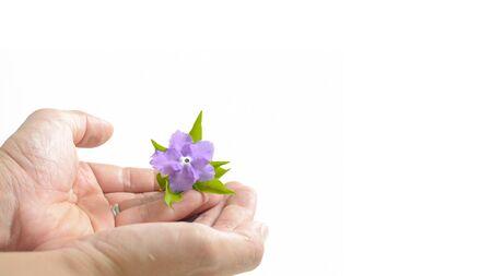 vilolet 花と手の緑の葉の背景として白を分離します。