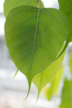 pipal: bothi tree ,pipal tree leaves background